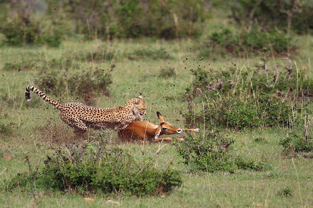 Cheetah vs. Impala