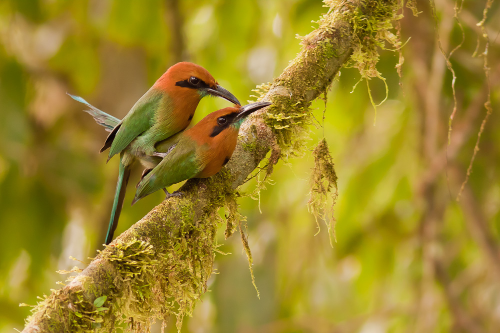 Plattschnabel-Motmot / broad billed motmot