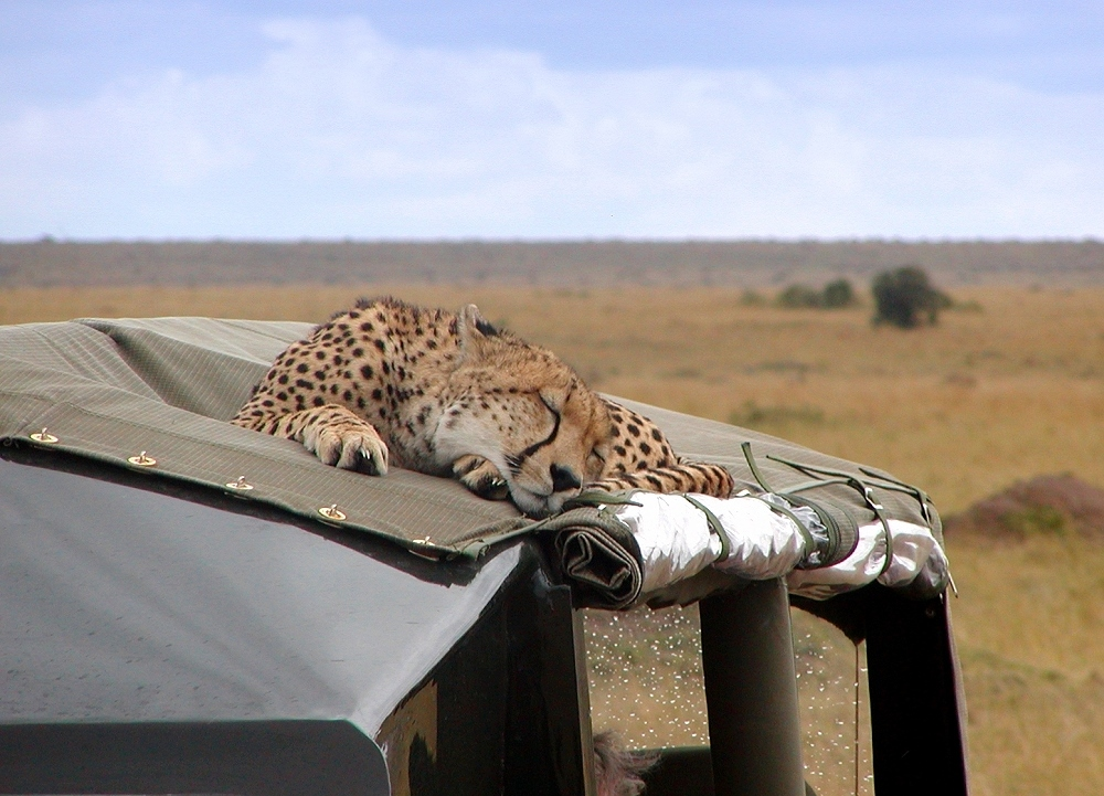 Cheetah sleeping on the car roof – Gepard schläft auf dem Autodach