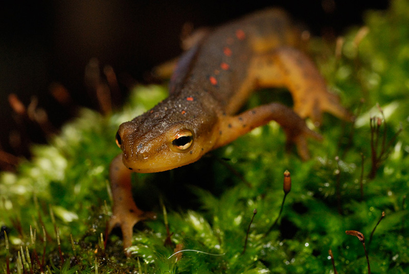 Red-spotted Newt (Molch) (ND)