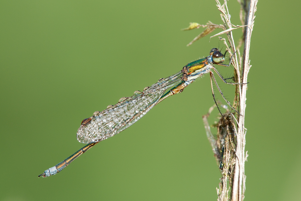 Binsennjungfer (Lestes virens)