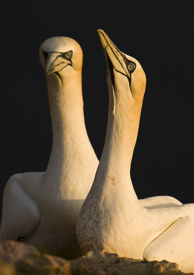 Lady and Sir Gannet of Helgoland