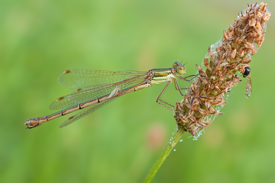 Passenger on the wing of a Southern Emerald Damselfly