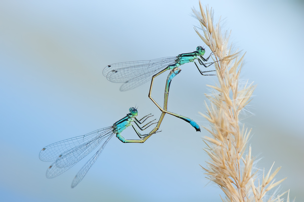 Blue-tailed Damselfly - tandem youth