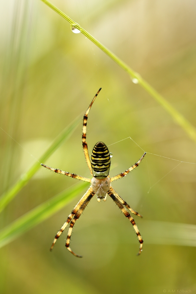 Spinne am Morgen ....
