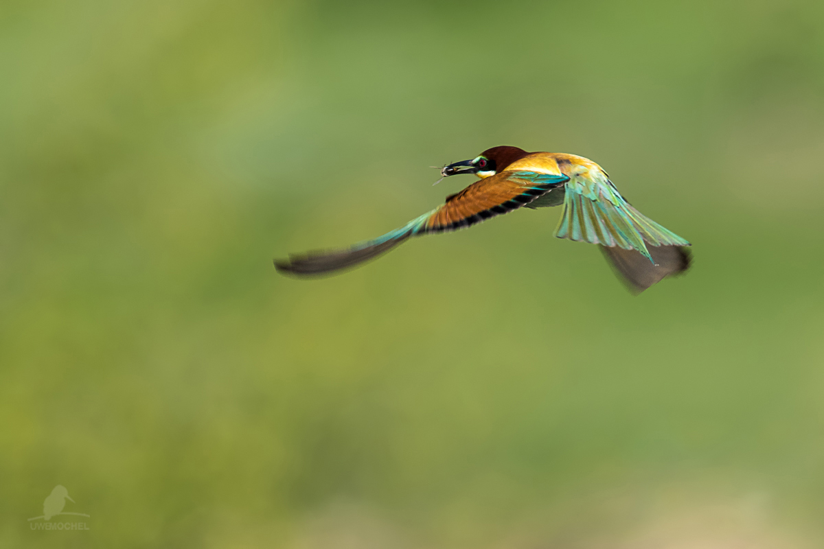 caught the bee - Merops apiaster - Bienenfresser