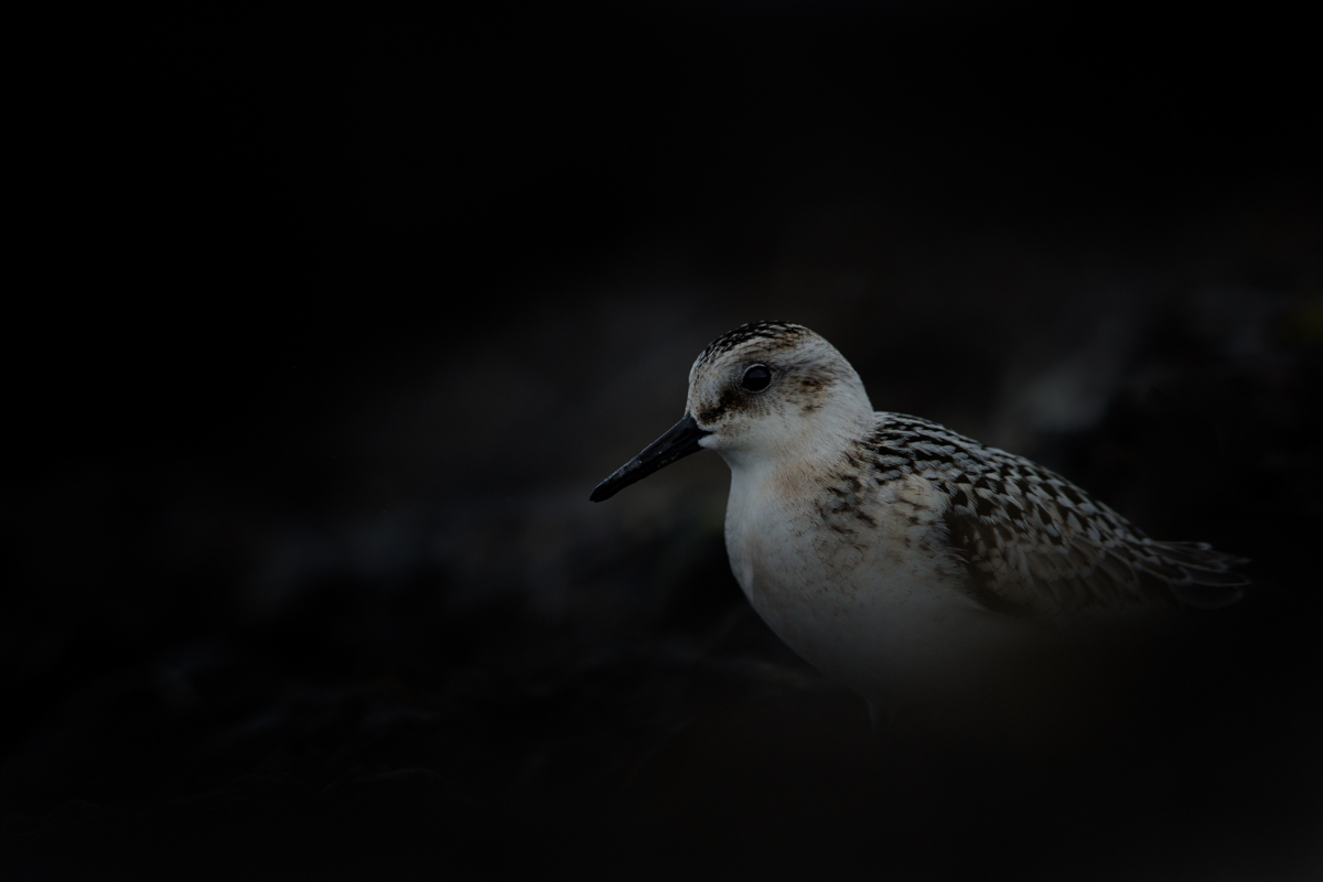 Sanderling in the dark