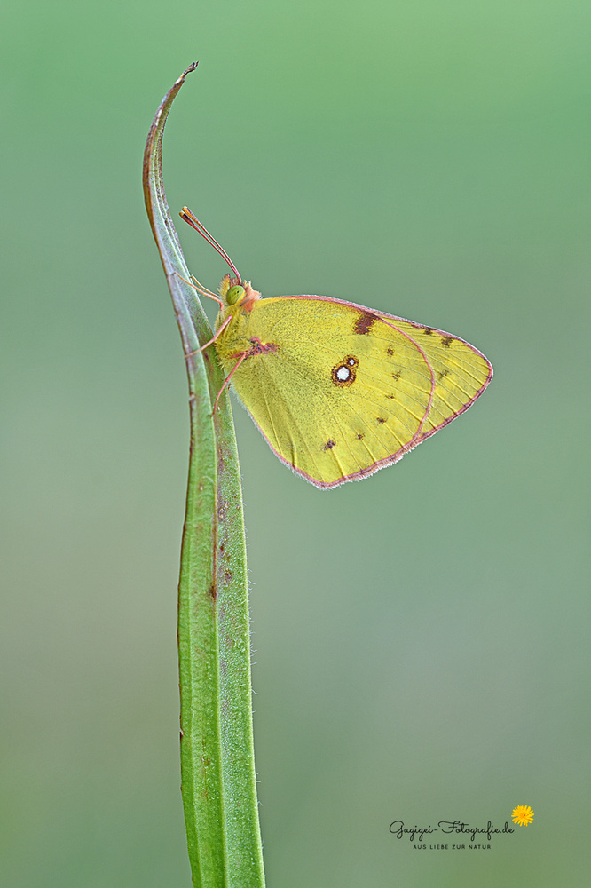 Goldene Acht (Colias hyale) oder Hufeisenkleegelbling (Colias alfacariensis)
