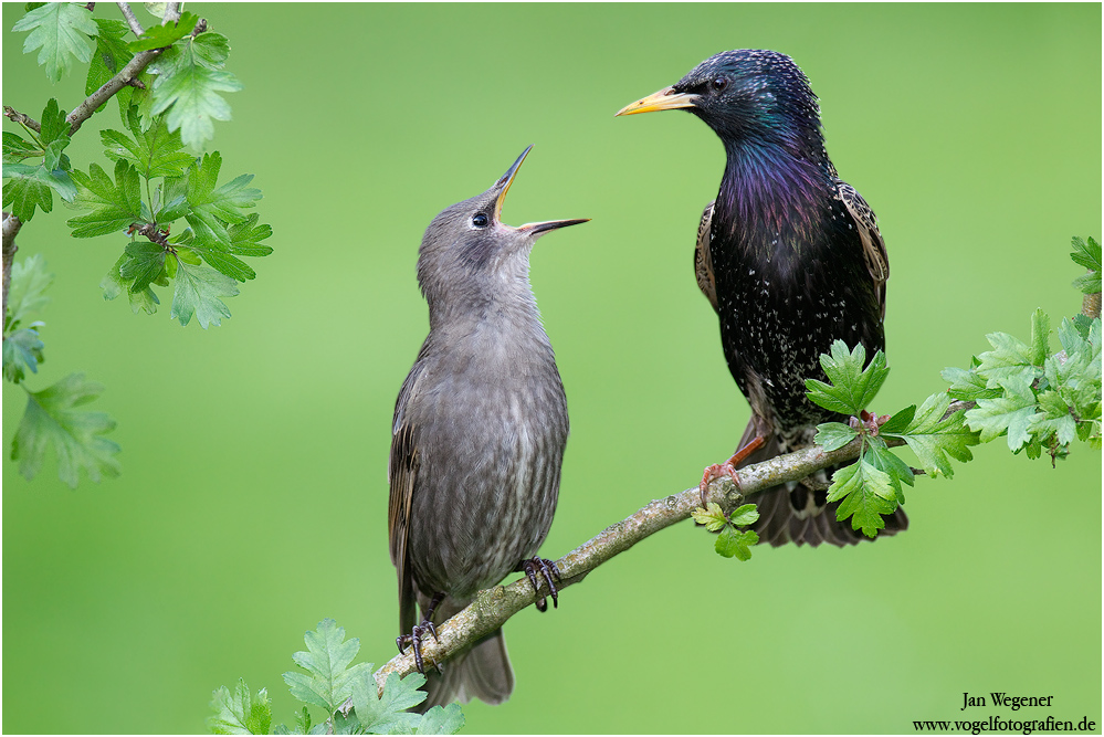 HUNGERRRR Star ( Sturnus vulgaris) European Starling
