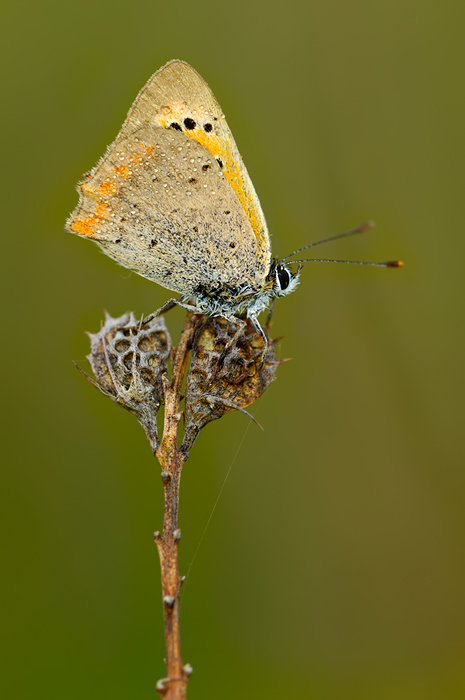 Lycaena phlaeas [ND]